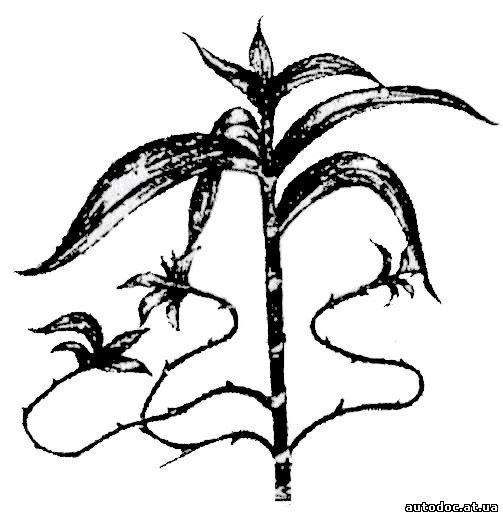 Золотой ус уход за растением